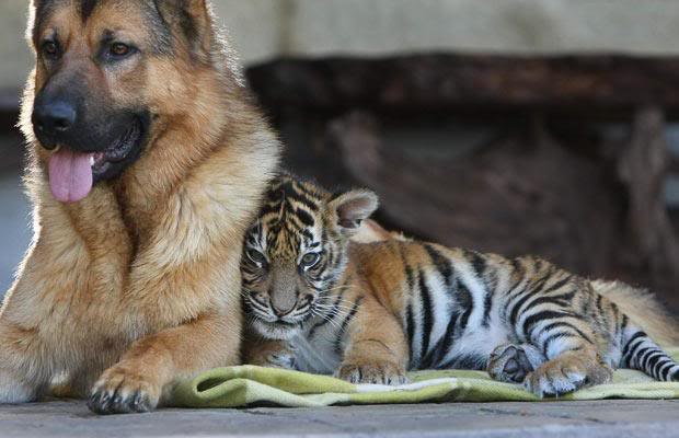 tiger-dog