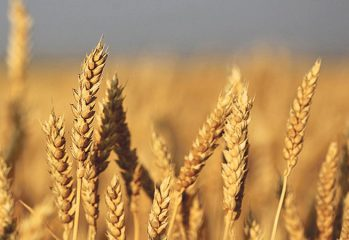 wheat-FLMIS-PITB-TechJuice
