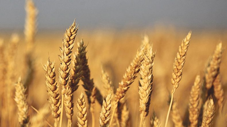 wheat-FLMIS-PITB-TechJuice